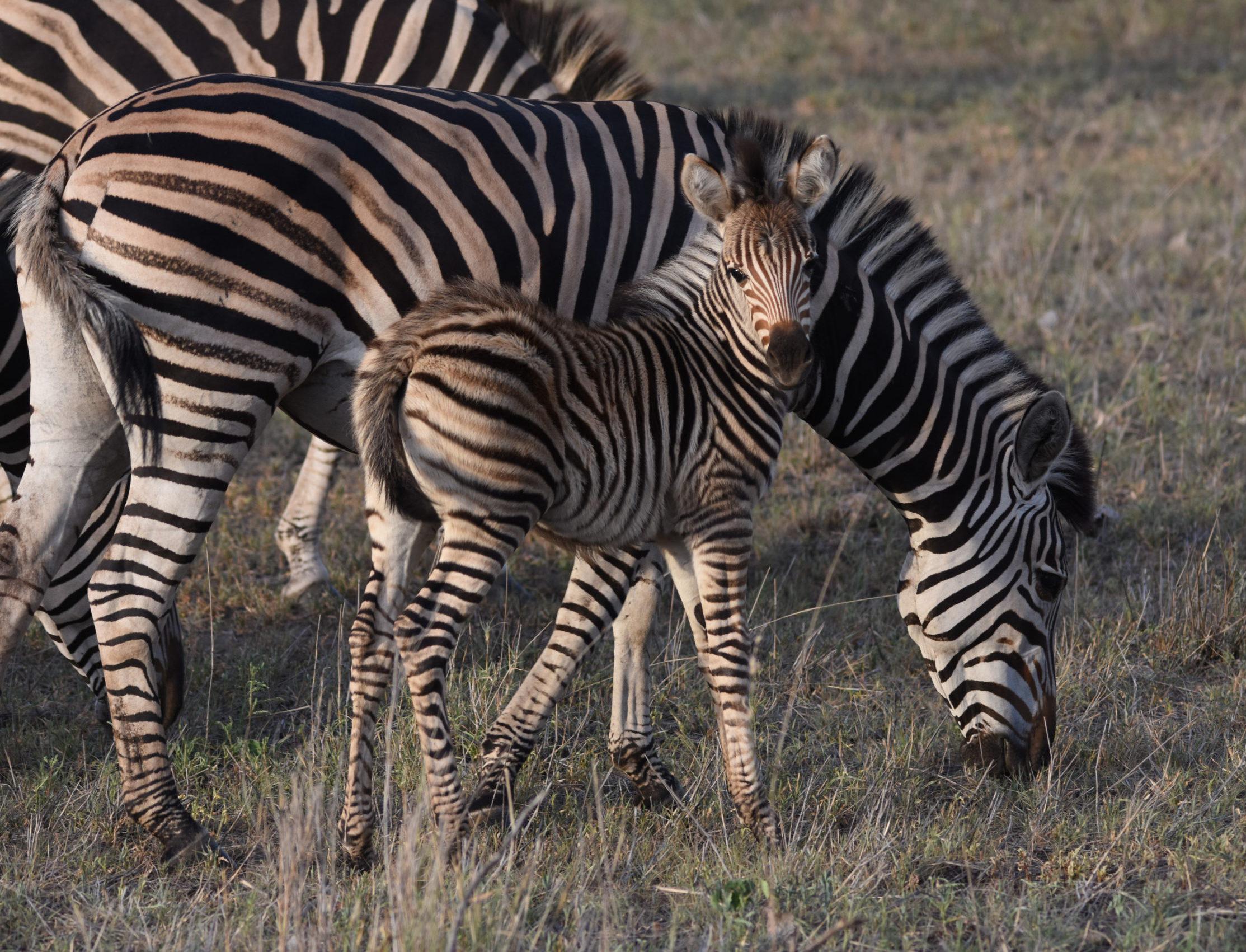 Baby Zebra at Silvan
