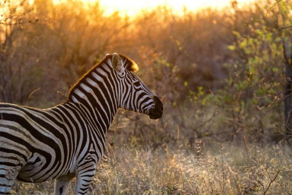 Zebra en silvan